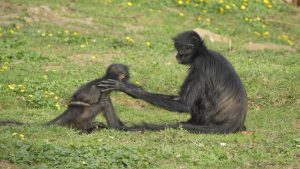 older monkey putting hand on younger monkey's shoulder